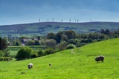 Får som betar i ett fält med vindturbiner på horisonten Royaltyfri Foto