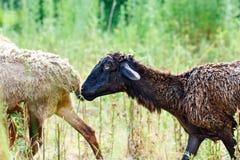 Får som betar i ett fält och, äter gräs royaltyfria bilder