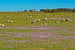 Får som betar i fältet av purpurfärgade vildblommor arkivfoto