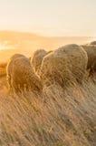Får som betar i fältet som sist tycker om minuter av solsken Arkivfoto