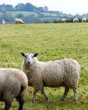 Får som betar i lantligt nordligt - Irland jordbruksmark Royaltyfria Foton
