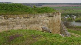 Får som betar längs floden och nära slottväggen arkivfilmer