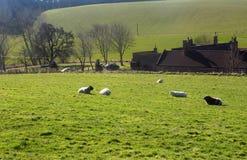 Får som betar, Northumberland UK Arkivfoto