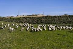Får som betar på en backeäng i Calabria Arkivbild
