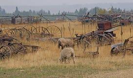 Får som betar på en gammal jordbruksmark Arkivfoton