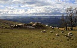 Får som betar på en hög- och bergsida av den härliga dalen av Clwyd Flintshire norr Wales royaltyfria foton