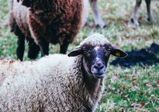 Får som betar på ett grönt gräs, head closeup Head portrai för får Fotografering för Bildbyråer