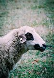 Får som betar på ett grönt gräs, head closeup Head portrai för får Royaltyfri Bild