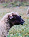Får som betar på ett grönt gräs, head closeup Head portrai för får Royaltyfri Fotografi