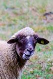 Får som betar på ett grönt gräs, head closeup Head portrai för får Royaltyfria Bilder
