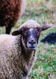 Får som betar på ett grönt gräs, head closeup Head portrai för får Royaltyfria Foton