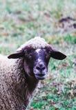 Får som betar på ett grönt gräs, head closeup Head portrai för får Arkivfoton