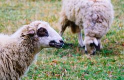 Får som betar på ett grönt gräs, head closeup Head portrai för får Arkivfoto