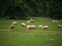 Får som betar på grönt gräs arkivfoton