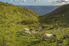Får som betar på Slibh Liag, Co Donegal royaltyfria bilder