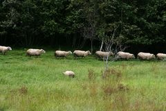 Får som går i en linje till och med ett gräsfält Royaltyfri Bild