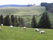 Får som kopplar av i Northumberland, England, UK Arkivbild