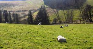 Får som kopplar av, Northumberland UK Arkivfoto
