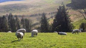 Får som kopplar av, Northumberland UK Royaltyfria Foton
