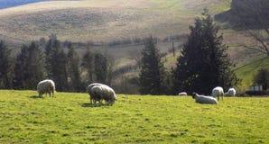 Får som kopplar av, Northumberland UK Royaltyfri Foto