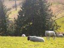 Får som kopplar av, Northumberland UK Arkivfoton