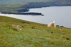 Får som ligger i gräset - Irland Arkivfoto