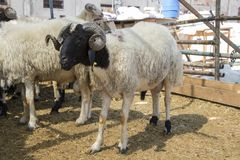 Får som säljs i den djura marknaden Arkivfoton