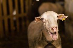 Får som säljs i den djura marknaden för offret, festar i Turkiet Arkivbild