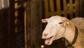 Får som säljs i den djura marknaden för offret, festar i Turkiet Royaltyfri Foto