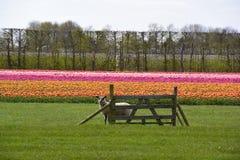 Får som ser över staketet med tulpanfältet bakom Royaltyfri Fotografi