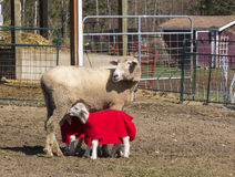 Får som vårdar hennes två lamm Arkivfoto