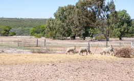 Fårboskap: Australisk jordbruksmark Arkivfoton