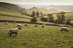 Fårdjur i lantgårdlandskap på solig dag i det maximala området UK Arkivfoton
