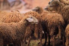 Fåren är på en fårlantgård på Forestet Park arkivfoto