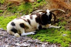 Fåren med den Jacob för fyra horn aveln arkivfoto