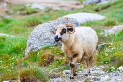 Fåret på alpint betar i Bucegi berg Royaltyfria Bilder