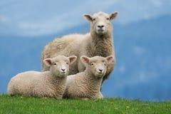 Fårfamilj i Nya Zeeland, med unga lamm