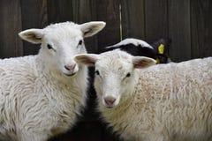 Fårfamiljboskap på en lantgård med unga lamm Royaltyfri Fotografi
