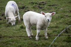 Fårflocklantgård på gröna gras i Skottland 5 Arkivfoto