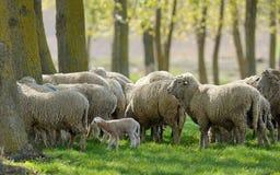 Fårgetter Graze Grass Spring royaltyfri fotografi