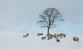 Fårhopsamling runt om träd i snö Royaltyfri Bild