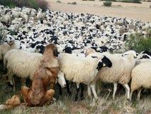 Fårhund Arkivfoton
