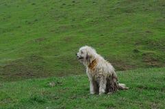 Fårhund arkivfoto