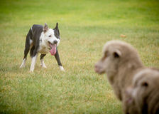 Fårhund 2 arkivfoton