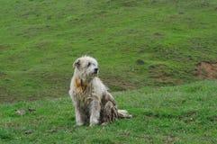 Fårhund på ängen royaltyfri fotografi