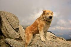 Fårhund på berget Arkivfoton
