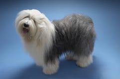 Fårhund på blå bakgrund royaltyfria foton