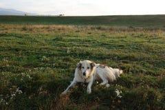 Fårhund på vakten på sheepfold Fotografering för Bildbyråer