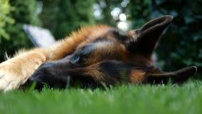 Fårhunden som vilar på gräset i ultrarapid arkivfilmer