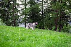 Fårhundvakt royaltyfria foton